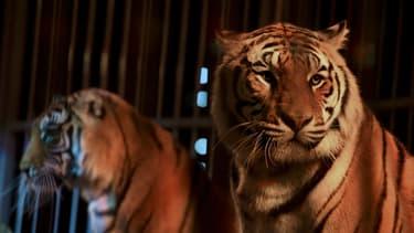 Des tigres dans un cirques (illustration).