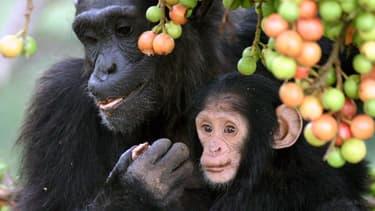Les singes sont tout à fait capables d'évaluer, les gains les pertes et les probabilités