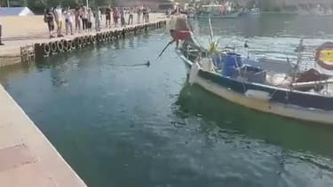C'est devant un public en partie horrifié que le pêcheur professionnel n'a laissé aucune chance au marlin qui croisait dans les eaux du port de Saint-Mandrier.