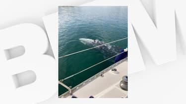 Une baleine grise observée dans le port de Bormes-les-Mimosas, le 1er mai 2021