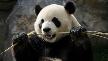 Le panda géant ne digère que 17% des bambous qu'il ingère.