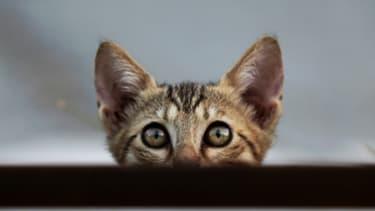 Un vaccin diminuerait une protéine sécrétée par les chat et à laquelle les humains sont souvent allergiques.