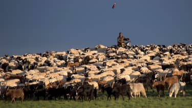 Un troupeau de mouton en Mongolie - Image d'illustration