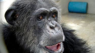 """Cheetah le chimpanzé, covedette des films de la série """"Tarzan"""" dans les années 1930 avec Johnny Weissmuller, est mort en Floride à 80 ans environ, ce qui en faisait l'un des plus vieux singes de son espèce. /Photo diffusée le 28 décembre 2011/REUTERS/The"""