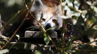 Un panda roux (photo d'illustration)