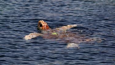 Une tortue marine relâchée dans les eaux en mai 2016 après être née en captivité à Marineland.