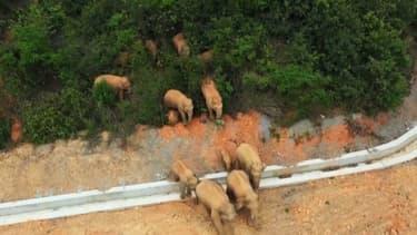 Le troupeau d'éléphants sauvages