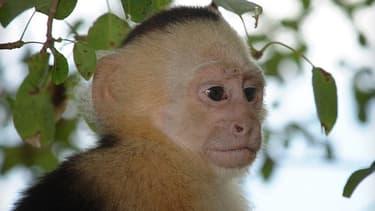 Un singe capucin (photo d'illustration).