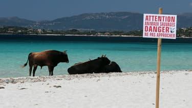Des vaches sur une plage de Coti-Chiavari, en Corse, le 17 mai 2017.