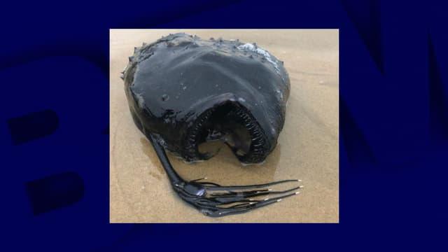Une baudroie retrouvée à Newport Beach, sur une plage de Californie, en mai 2021