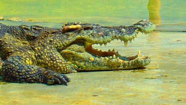 Hermès promet des sanction à l'encontre des élevages qui lui fournissent des peaux de crocodiles et d'alligators qui maltraiteraient les animaux.