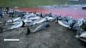 Plusieurs centaines de dauphins ont été tués le 12 septembre dernier dans l'archipel des îles Féroé.