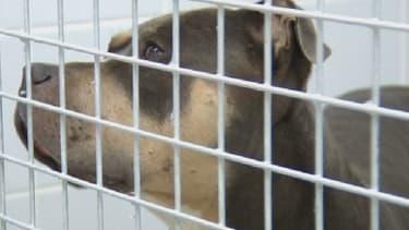 Le pitbull est gardé en cage depuis l'attaque, au Havre.