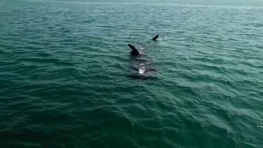 Des requins pèlerins aperçus dans la rade de Brest