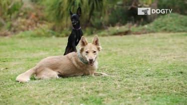 DogTv diffuse des programmes très courts où l'on voit des chiens qui courent, qui jouent ...