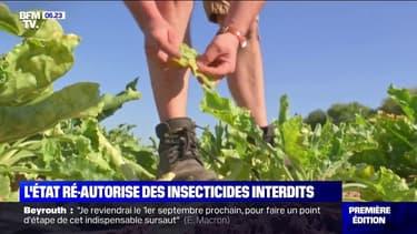 L'État veut autoriser les betteraviers à utiliser des néonicotinoïdes, un insecticide interdit depuis 2018