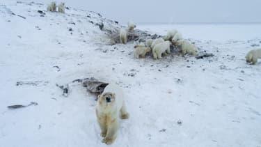 Des ours polaires près du village de Ryrkaypiy, dans la région de Chukotka, en Russie, le 3 décembre 2019