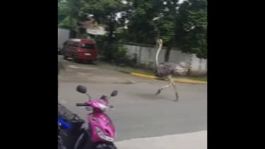 Une autruche filmée en train de courir en pleine rue aux Philippines