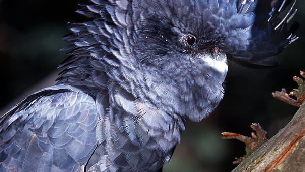 Photo d'un Glossy Black-Cockatoo, une espèce de cacatoès australien