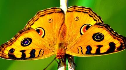 En 20 ans, la moitié des papillons des prairies a disparu des cieux européens. En cause? L'agriculture intensive mais aussi les prairies non entretenues et grignotées par le maquis.