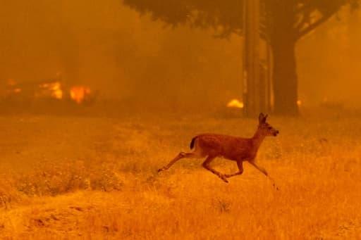 Un renne fuit les flammes du Ranch Fire qui ravage les abords de la route de New Long Valley, près de Clearlake Oaks, en Californie, le 6 août 2018.