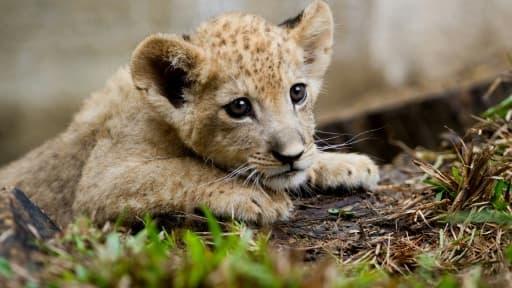 Bantu, un lionceau de deux mois né en captivité au zoo de Cali au sud de Medellin en Colombie, le 25 octobre 2012