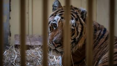 L'un des neuf tigres qui a échappé de peu à la mort en Pologne, le 6 novembre 2019 à Poznan.