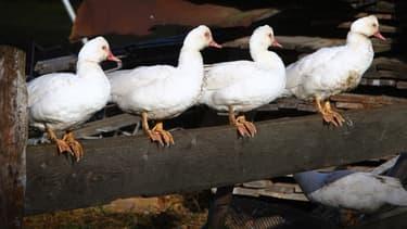 L'importation des volailles et produits avicoles français est temporairement interdite au Japon.