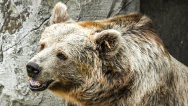 """De """"nouveaux lâchers"""" d'ours sont """"indispensables"""" afin d'assurer """"à long terme la viabilité"""" de la population."""