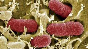 Image de bactéries Escherichia coli (E. coli) producteurs de shiga-toxines (STEC) observées au microscope électronique. Une forme virulente d'infection à ces bactéries imputée à des concombres importés d'Espagne a fait 10 morts et touché 300 personnes en