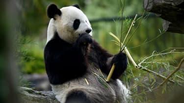 Huan Huan, la femelle panda du zoo de Beauval.