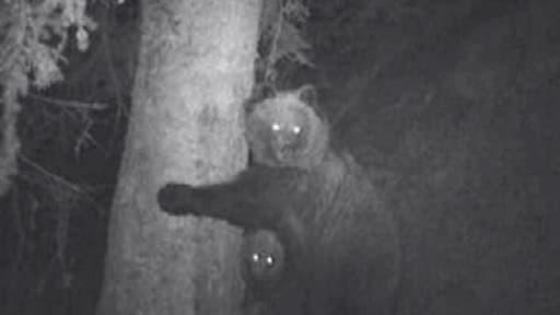 Une oursonne des Pyrénées et son petit observés grâce à des jumelles spéciales à vision nocturne.