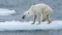 Ours polaire amaigri dans l'archipel de Svalbard, en Norvège