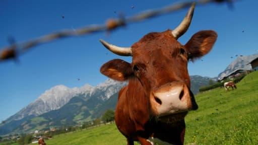 Une vache dans un pré à Saalfelden, près de Salzbourg le 9 septembre 2012