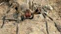 L'araignée-banane, d'origine sud-américaine, adore se cacher dans les bananes.
