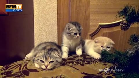 Le bâillement est-il aussi contagieux chez les chatons ?
