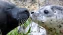 Au parc aquatique de Boudewijn de Bruges en Belgique, le jeune phoque femelle baptisée Conchita (à droite) et sa mère, Celia.