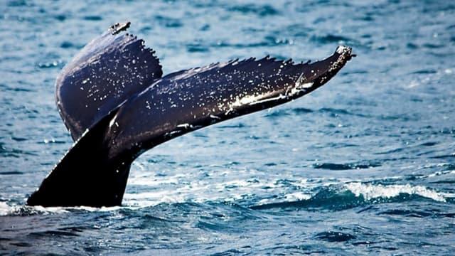 Baleine bleue. (illustration)