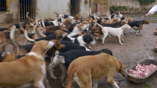 Un élevage de chiens en France. (illustation)