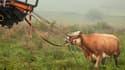 Au terme de trois mois de fugue, Yvonne, paisible vache bavaroise, a été retrouvée vendredi en Allemagne. Elle était devenue une star des médias outre-Rhin où sa traque a mobilisé des hélicoptères équipés d'infrarouge. Elle a été capturée dans un champ no