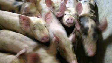 Des porcs (Photo d'illustration)
