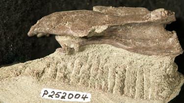 Cette vertèbre de 5cm de longavait dans un premier temps été attribuée à unptérosaure volant