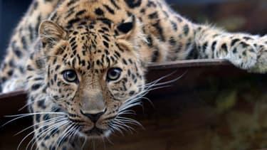 La panthère de l'Amour est l'animal menacé qui s'en est sorti le mieux en 2013, selon le WWF.