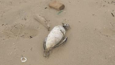 Un des nombreux oiseaux morts retrouvés sur les plages du littoral atlantique français