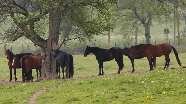 Des chevaux dans un champ, image d'illustration.