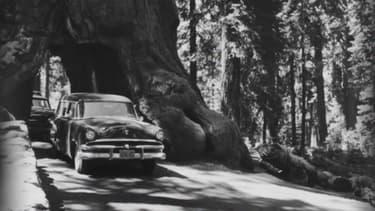 Des véhicules traversent un autre séquoia géant creusé en Californie, le Wawona Tunnel tree, tombé en 1969.