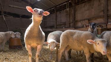 500.000 agneaux sont à écouler dans les fermes françaises