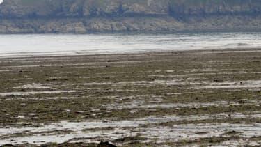 Des algues vertes échouées sur la plage de Plouha, leur prolifération serait due à la pollution des eaux par les nitrates.