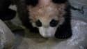 Yuan Meng, le panda de Beauval.