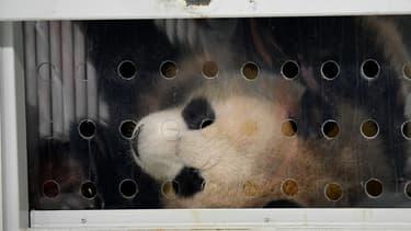 """Deux pandas """"ambassadeurs"""" de Chine sont arrivés à Berlin, en Allemagne, le 24 juin 2017"""